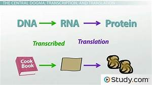 How Does Dna  Deoxyribonucleic Acid  Encode Information