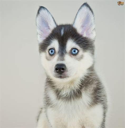 25 best ideas about pomsky dog on pinterest cute pupies