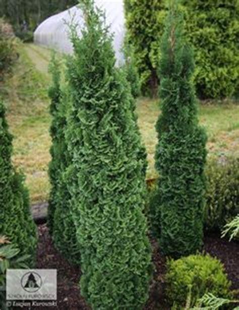 Gartendeko Varel by Pinus Strobus Tiny Kurls Cool Conifers