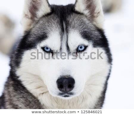 husky dog stock images royalty  images vectors