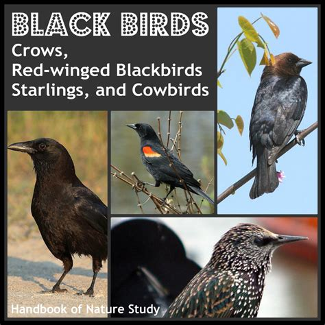 outdoor hour challenge birds crow red winged blackbird