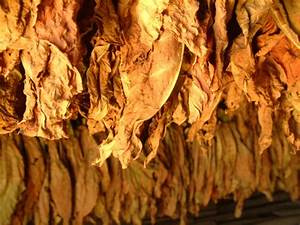 Free Drying tobacco Stock Photo - FreeImages.com