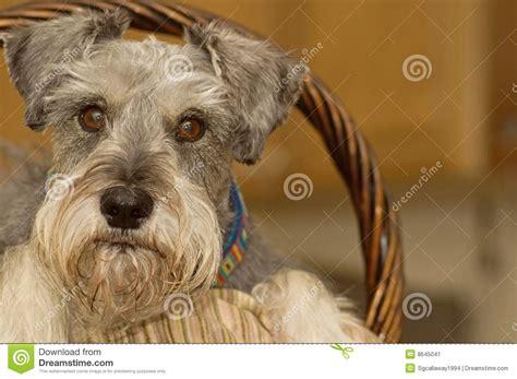 cute miniature schnauzer dog   easter basket stock