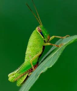dotted grasshopper jigsaw puzzle