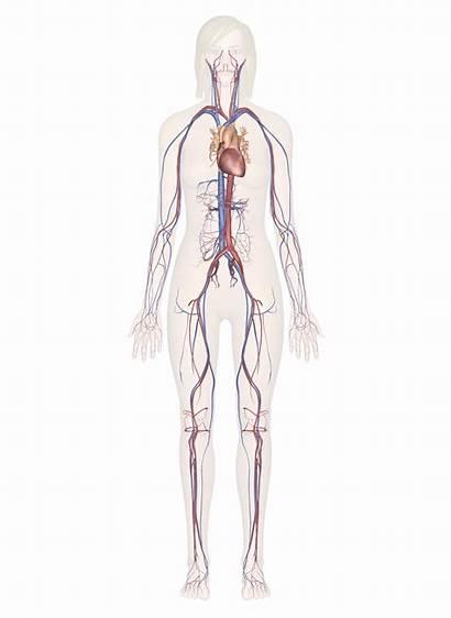 Human Arteries Heart Cardiovascular System Diagram Circulatory