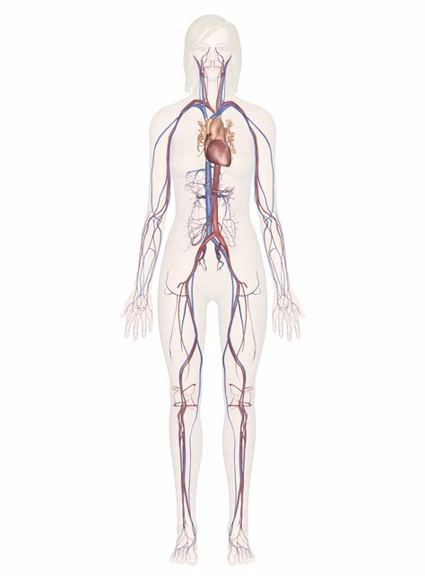 Tutorials and quizzes on the circulation of blood and the anatomy, structure, and physiology of blood vessels, using interactive animations learn even faster with this blood vessel anatomy study guide. Cardiovascular System - Human Veins, Arteries, Heart