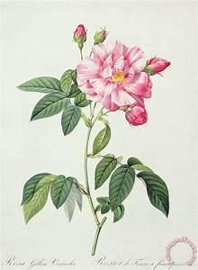 Pierre Joseph Redoute French Rose painting - French Rose ...