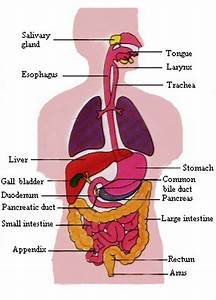 Digestive System Of A Man With Diagram