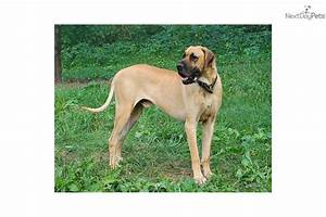 Great Dane for sale for $750, near Twin Tiers NY/PA, New ...