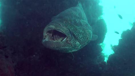 grouper goliath hd shutterstock teeth mouth