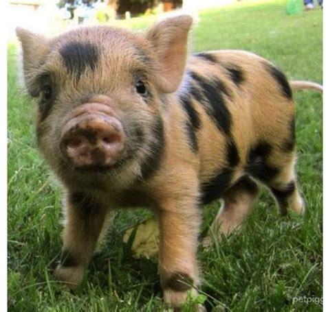mini pot belly pig 17 best ideas about pot belly pigs on pinterest pet pigs mini pigs and pigs