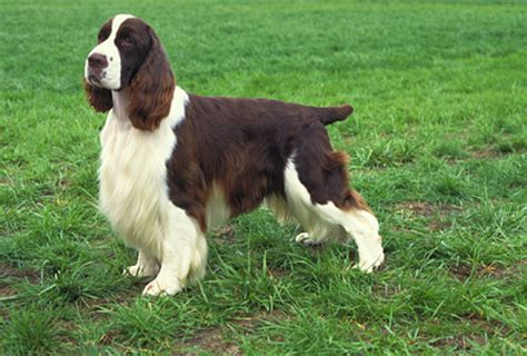 english springer spaniel pictures information training