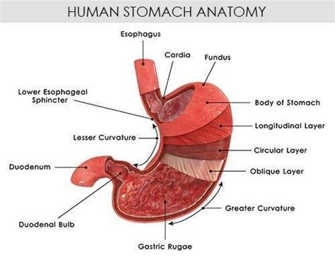 Diagram Of Stomach And by Stomach Diagram
