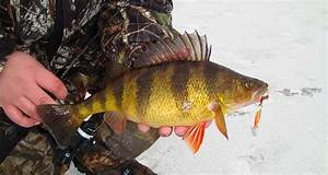Catch Super-sized Yellow Perch Through The Ice