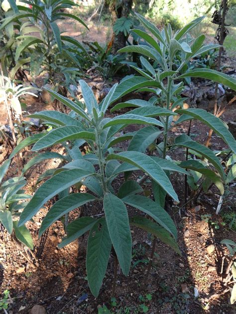 Herbs From Distant Lands Blumea Balsamifera Ngai