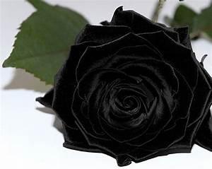 ENTRE SEDA Y ALGODÓN : UNA ROSA NEGRA | Black | Pinterest ...