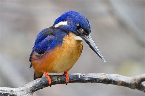 birds photos birds wallpapers facts info kingfisher