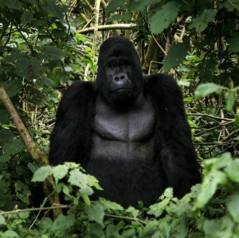 amazonia si鑒e social gorilla cugini non troppo lontani