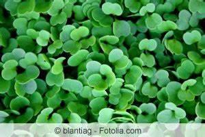 Salat Pflanzen Abstand : rucola salat anbauen pflanzen pflege und ernte der rauke ~ Markanthonyermac.com Haus und Dekorationen