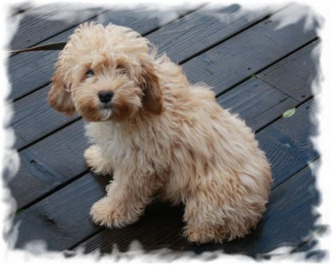 do f1 cockapoos shed mill creek labradoodles males