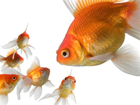 hd wallpapers goldfish wallpapers