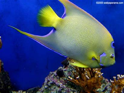 Fish Tropical Wallpapers Fishes Backgrounds Discus African