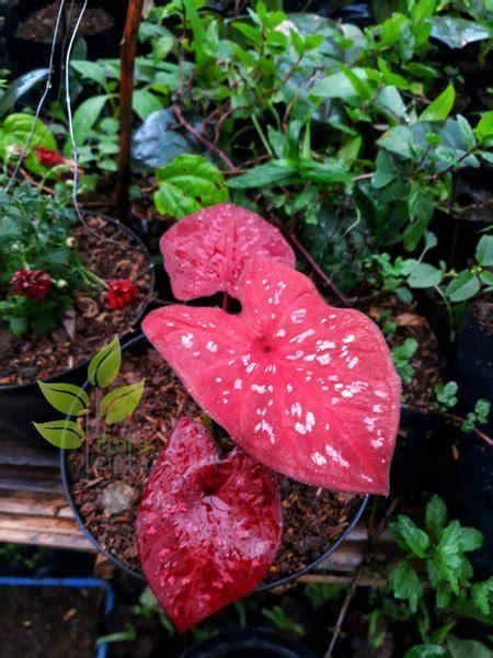jual tanaman hias keladi merah langka lapak floracipta