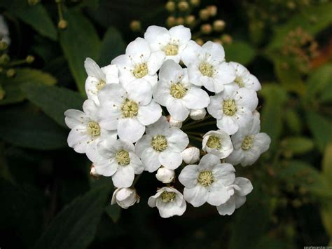 wallpapernarium flores blancas pequenitas