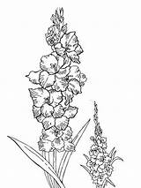 Coloring Pages Gladiolus Flower Flowers Print Printable Recommended Colors sketch template