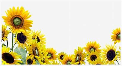 Sunflower Background Garden Transparent Pngkey