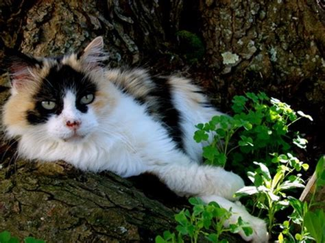 calico cat information pets