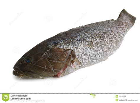 grouper fish scaled locus dusky isolated background fotosearch preview dreamstime