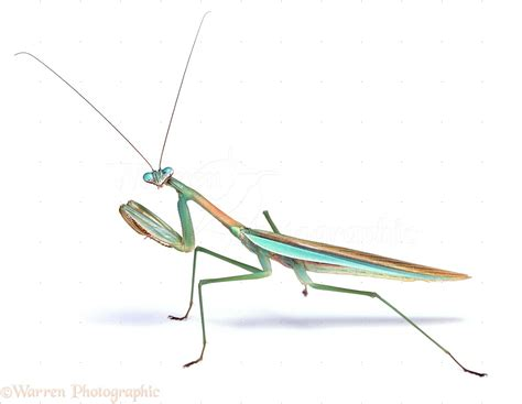 Japanese green Praying Mantis photo WP06705