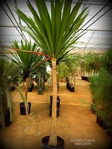 DRACENA -ARBÓREA - ( Dracaena arbórea ) - Meu Cantinho Verde