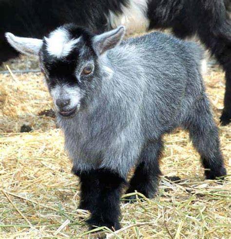 raising pygmy goats  pets modern farming methods