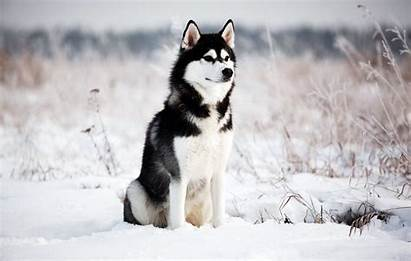 Husky Siberian Wallpapers Backgrounds Wallpaperaccess