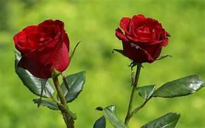 Begleitpflanzen Für Rosen : ist es gesund rosen zu essen gesundheit k rper menschen ~ Orissabook.com Haus und Dekorationen