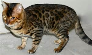 show me pictures of cats studs show me bengal cats