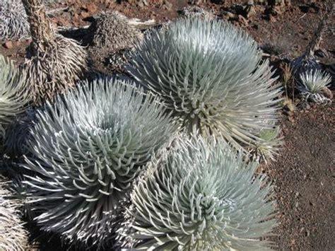 haleakala silverswords haleakala national park