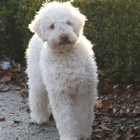 Lagotto Romagnolo Breed Guide Learn About The Lagotto Romagnolo