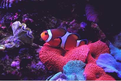 Clownfish Pez Payaso Gifs Pagliaccio Pesce Clownfische