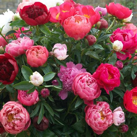 van zyverden peonies mixed varieties roots set
