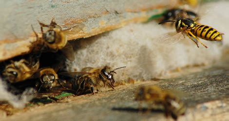 wasps  bees pest control gta