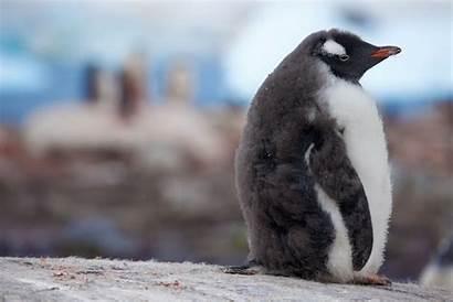 Baby Cute Penguins Penguin Cutest Animals Animal