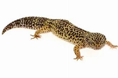 Spots Weird Animals Mirror Gecko Leopard Coloured