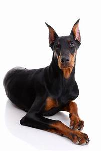 doberman, pinscher, puppy, plagued, by, health, troubles