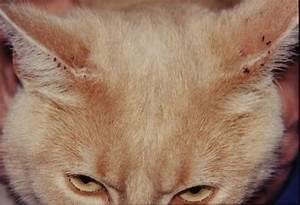 Comment Enlever Les Oeufs De Puces Sur Un Chat : comment eliminer les puces de chien et chat shampooing collier anti puce ~ Dode.kayakingforconservation.com Idées de Décoration