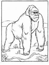 Ausmalbilder Gorillas Coloring Ausdrucken Malvorlagen Kostenlos Zum Animals Gorilla sketch template