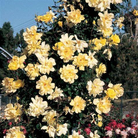 Golden Showers Hill Nurseries Golden Showers Climbing Live