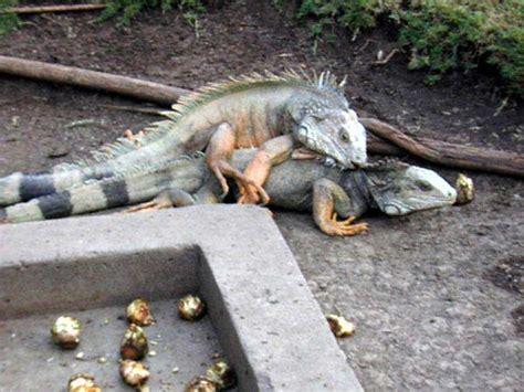 Iguana Sex Flickr Photo Sharing